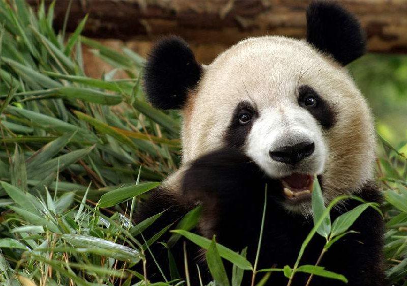 feed panda