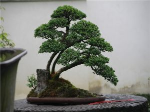 china bonsai