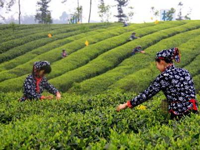 Pujiang Tea Trip