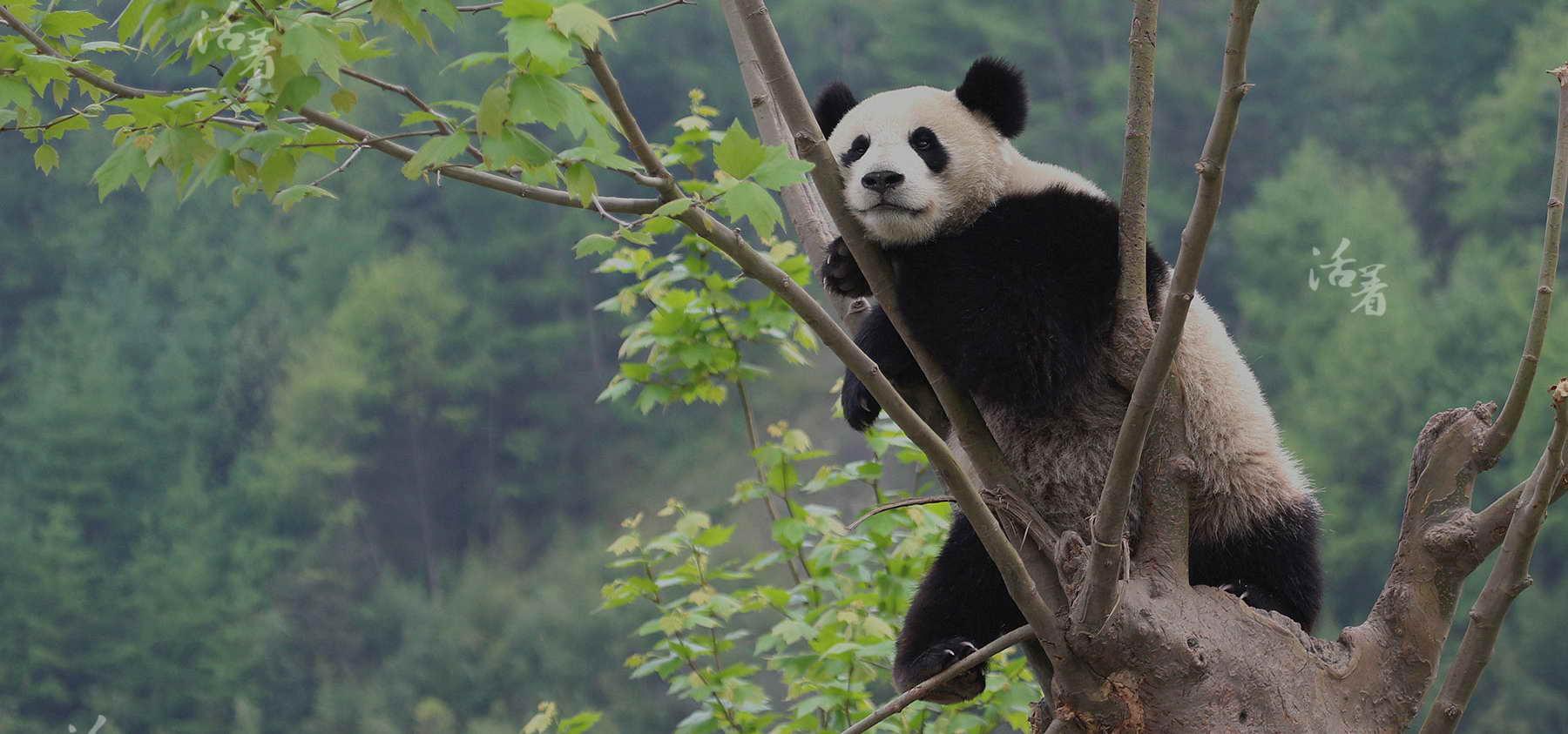 wolong panda