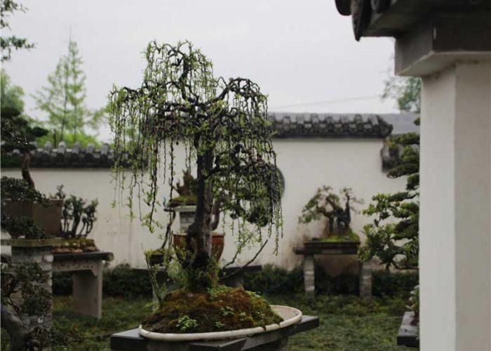 bonsai021
