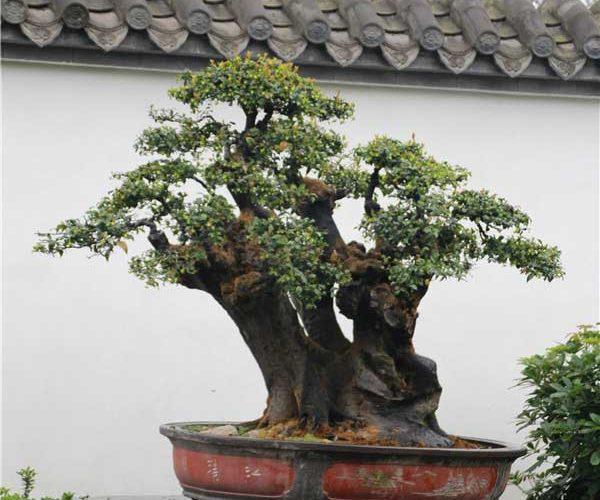 bonsai027