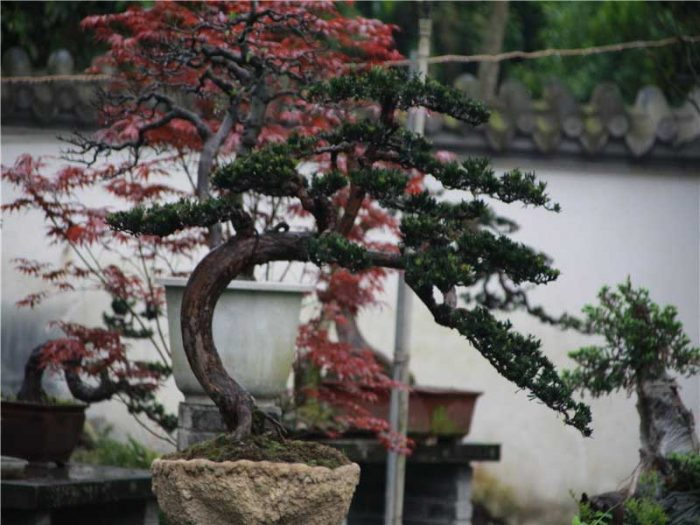 bonsai029