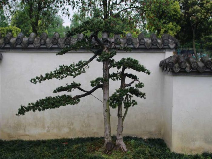 bonsai030